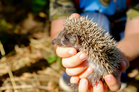 Small hedgehog in female's hands on green background.