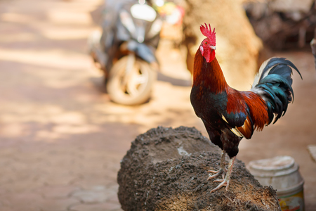 Beautiful rooster with a red crest. Multicolored feathers. Screams crows. Goa, India