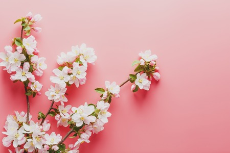 Sakura blooming, spring flowers on a pink background with space for a greeting message. The concept of spring and mother's day. Beautiful delicate pink cherry flowers in springtime. View from above 免版税图像