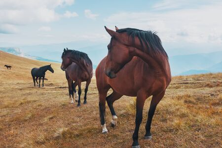 Dark-colored horses graze in the mountains in the mountains. A beautiful herd of horses in the wild. Horses stand close and will be shot in frame Reklamní fotografie