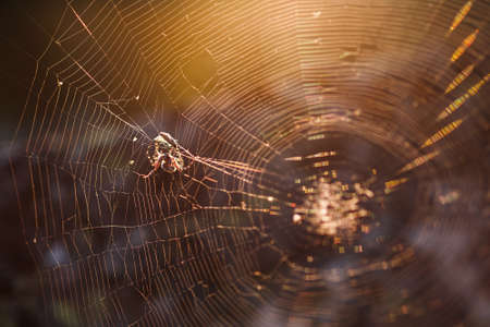 A large brown weaver spider in its web hunts its prey. Predatory Insects Reklamní fotografie