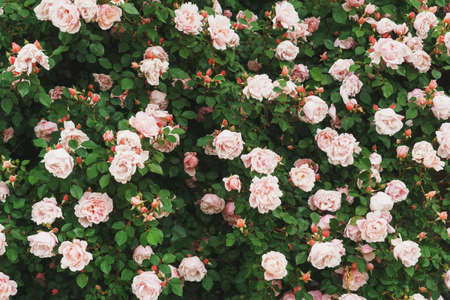 Soft pink roses bloom in bouquets in the garden, as a background. Flowers Standard-Bild