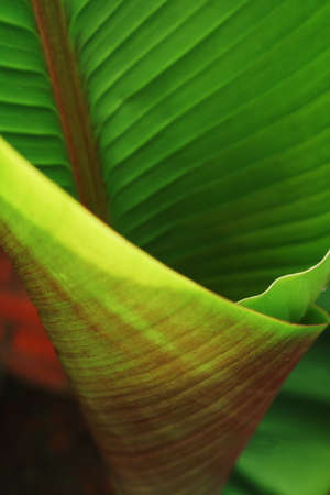 The texture of a tropical banana palm leaf with a sunny glow. Close-up, Abstract background Standard-Bild