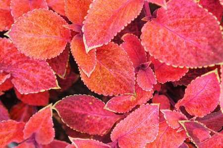 Red leaves of a garden plant close-up as a background. Top view