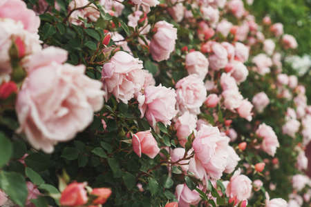 Pink roses bloom in bouquets in the garden, as a background. Flowers Standard-Bild