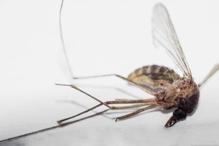Isolated dead infectious mosquito, transmitting diseases. White background subject on focus.
