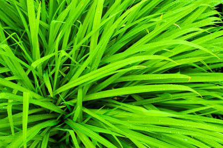 свежей зеленой травы с каплями воды после дождя