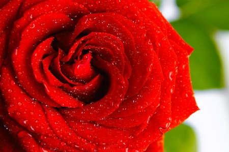 блестящая красная роза с каплями воды