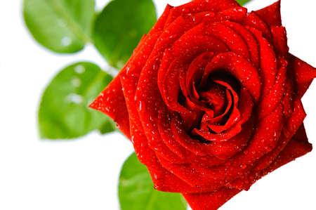 блестящая красная роза с каплями воды на белом фоне