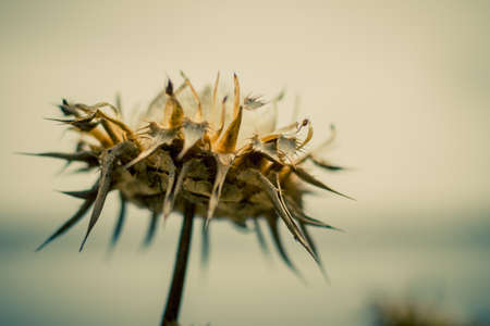 withered inflorescence of thistles on blurred background Stock Photo