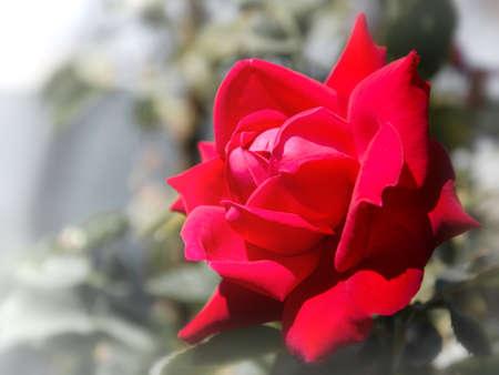 красный свежие розы на размытом зеленом фоне