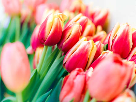 Fresh red tulips on blurred background Stock Photo