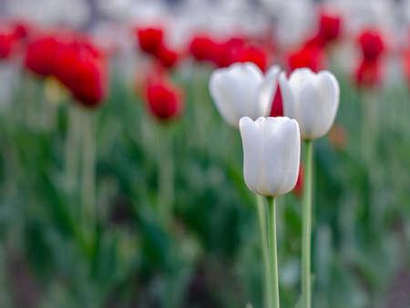 белые и красные тюльпаны с размытым фоном
