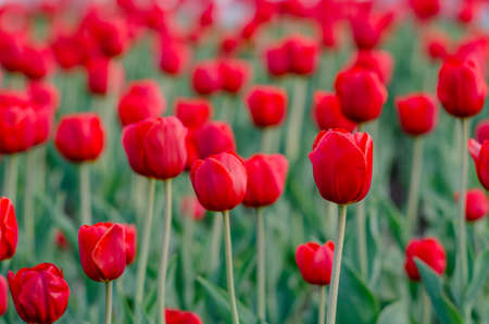 field of red tulips with blurred background