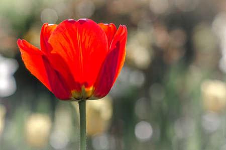 Красный мак цветок на фоне размытого