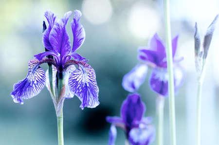 фиолетовый ирис на размытом фоне Фото со стока