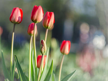 spring red tulips with blurred background