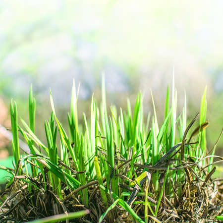 молодое поколение свежей зеленой травы растет через старую траву