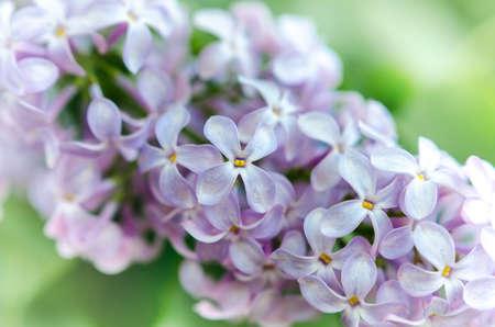 весной свежие сиреневые цветы с размытым Backgroud