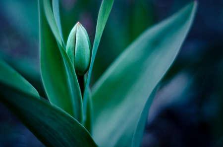Цветущий тюльпан с мягким фокусом и размытым зеленым фоном