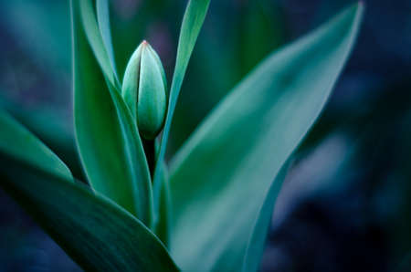 burgeon of tulip with soft focus and blurred green background Stock Photo