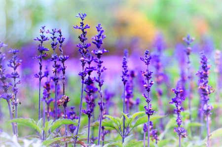 Фиолетовые цветы лаванды на зеленом фоне размыты Фото со стока - 75439757