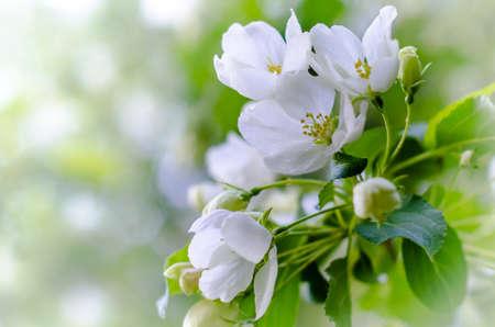 цветение яблони ветвь с размытым фоном Фото со стока