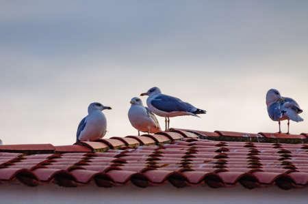 чайки, сидя на крыше, покрытой красной черепицей