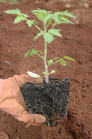 Gardener planting a tomato plant seedling in the vegetable garden. photo