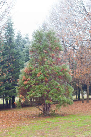 Coniferous tree ina park photo