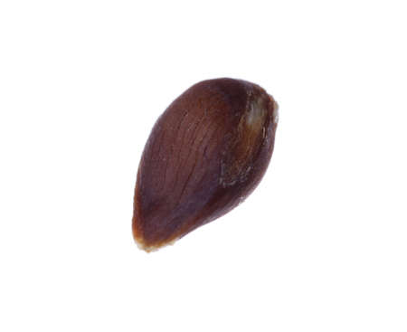 Small brown apple seed isolated