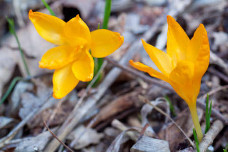 Yellow crocus in forest. Spring shot. Stock Photo - 13226593