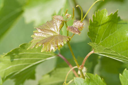 Young vine leafs. Summer season.