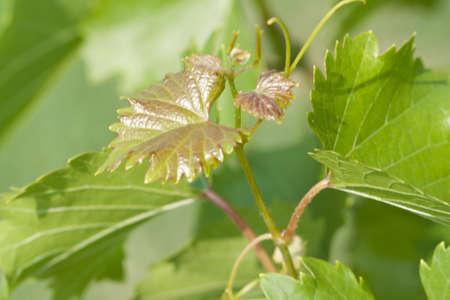 Young vine leafs. Summer season.