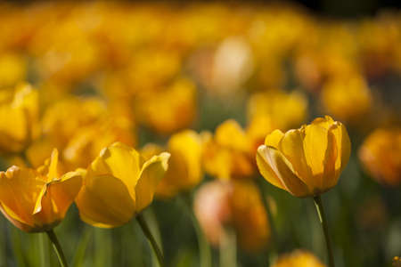 yellow tulips photo