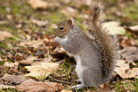 Grey Squirrel eating Hazelnuts on an old tree stump in Autumn photo