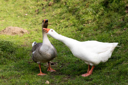 White and grey geese