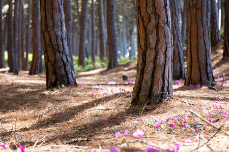 Beautiful pine forest with flowers scatter on the floor Stock Photo