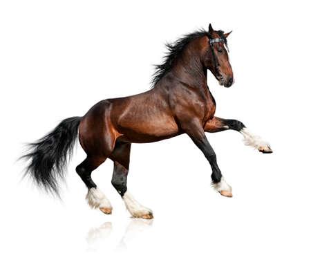 caballo saltando: Caballo de la bahía de pesada aisladas sobre fondo blanco