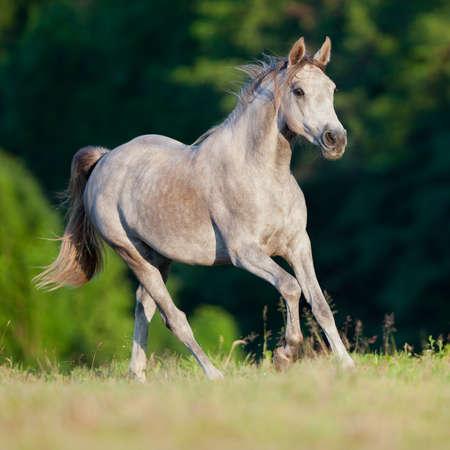 Arabian grigio cavallo in corsa nella foresta Archivio Fotografico - 11983882