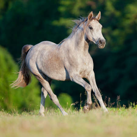 Arabian gray horse running in forest Banque d'images