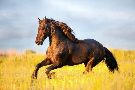 caballo negro: Friesian caballo al galope en la puesta de sol Foto de archivo