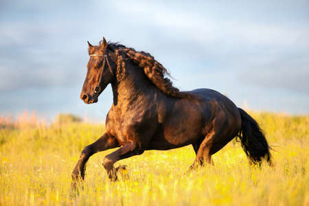 Friesian horse galloping in sunset Banque d'images