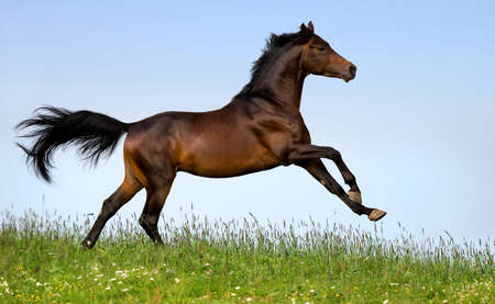 Bay horse running in field photo
