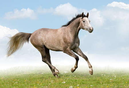 galloping: Gray horse galloping in field Stock Photo
