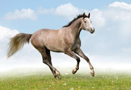 Gray horse galloping in field Standard-Bild