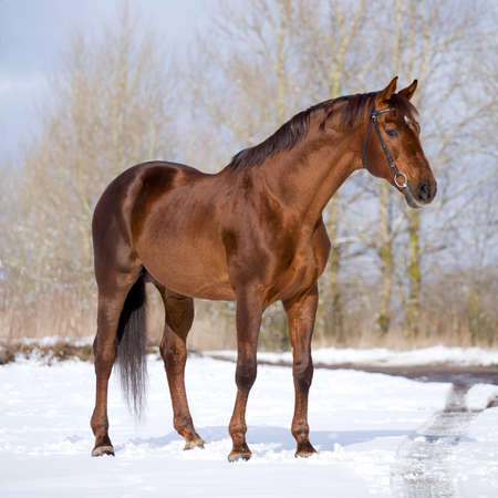 on pasture: Chestnut horse standing in field Stock Photo