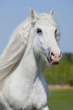shire horse: White  horse running in summer Stock Photo