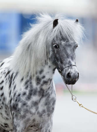 appaloosa: Appaloosa horse portrait
