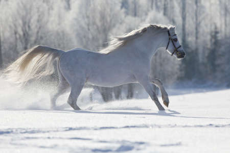 ponies: White horse running in winter